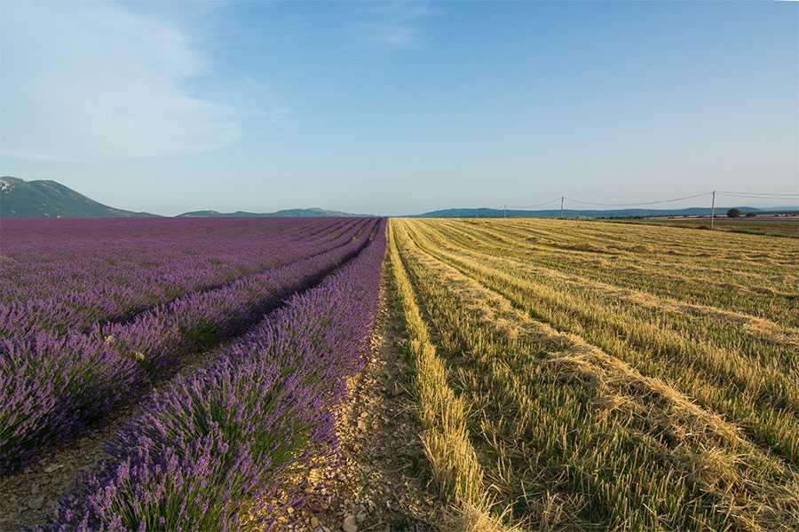 Lavendel en tarwe op het Plateau van Valensole