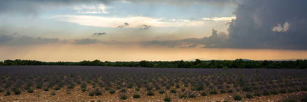 De jonge lavendelplanten op het plateau.