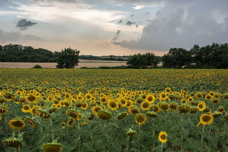 Zonnebloemen op het plateau